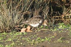 Dunlin (Dougie Edmond) Tags: ayr scotland unitedkingdom gb wader water bird nature wildlife