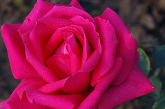 From Rose Garden, Chandigarh (Koshyk) Tags: rose chandigarh rosegardenchandigarh nikond70 sigma105macro