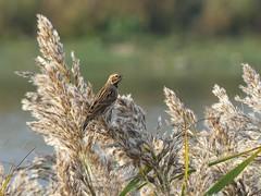 Reed Bunting P1970737 (ianpreston) Tags: 2018 willington derbyshirewildlifetrust goldenplover reedbunting