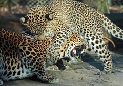 Shrilankan Panther Burgerszoo 094A1846 (j.a.kok) Tags: animal asia azie panter panther leopard luipaard shrilankapanter shrilankanpanther shrilankaansepanter shrilankanleopard welp cub panterwelp leopardcub panthercub pantheraparduskotiya mammal zoogdier dier predator burgerszoo burgerzoo cat kat