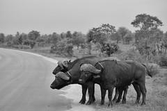 Buffalo (DeVisscherJonas) Tags: southafrica kruger krugerpark africa travelphotography fujifilm xt20 safari roadtrip travel buffalo