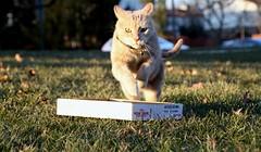 I guess he didn't quite understand my instructions (Kerri Lee Smith) Tags: jimmy cat feline tabby beigetabby beigecats bufftabbies buffcats box runningcats sunset winter happycaturday