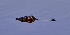 11-12-18-0041983 (Lake Worth) Tags: animal animals bird birds birdwatcher everglades southflorida feathers florida nature outdoor outdoors waterbirds wetlands wildlife wings