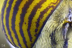 Ojo Mosca Tigre 10X (christian_kollinger) Tags: mosca fly tigre tiger wings alas pelos hair yellow amarillo macro 5aumentos nikon nikond750 microscopio macrofotografía