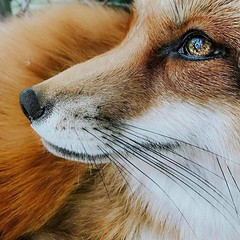 @everythingfox September 16 2018 at 06:02AM (hellfireassault) Tags: foxes everythingfox september 16 2018 0602am fantasticfoxes november 17 0712pm