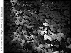 Sunlit Forest Floor, Gorge Of The Forty (jwvraets) Tags: film blackandwhite bw ilfordfps d76 120rollfilm mediumformat anseladamsopensource rawtherapee gimp pentax6x7 90mmsupermulticoatedtakumar6x712890leaf