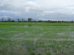 Rice field in the Mekong Delta