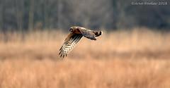 Harrier (Arvo Poolar) Tags: outdoors ontario canada arvopoolar bird whitby lyndeshores hallsroad nature naturallight natural nikond7000 naturephotography raptor birdofprey inflight wings