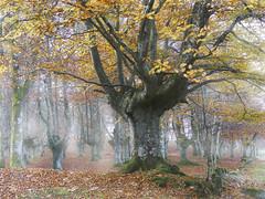 Ultimas hojas (azucena G. De Salazar) Tags: tree zuhaitz arbol ptoño fall udazkena color forest basoa bosque euskalherria euskadi paisvasco basquecountry urkiola bizkaia