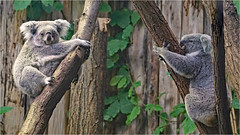 Daughter visiting her mother (Foto Martien) Tags: koala joey baby jongekoala newbornkaola motherandchild moederenkind mother moeder koalabear nativebear monkeybear treebear bangaroo newhollandsloth cullawine koolawong colah karbor colo coolbun boorabee burroor pucawan koalabeer banjorah burrenbong buidelbeer fascolarto aschgrauerbeutelbär phascolarctoscinereus marsupial buideldier easternaustralia oostaustralië southeasternqueensland easternnewsouthwales southeasternsouthaustralia victoria eyrepeninsula strongclaws largepaws phascolarctidae kangaroos wallabies wallaroos wombats possums opossums zooduisburg germany deutschland duitsland northrhinewestphalia nordrheinwestfalen tree boom eucalyptus zoo dierenpark dierentuin slta77v a77 a77v sonyilca77m2 sonyalpha77mark2 sonyalpha77ii sonyilca77markii 70300 tamron70300mmf456sp martienuiterweerd fotomartien