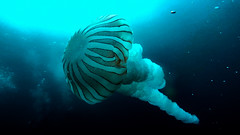 Medusa (evemari.luz) Tags: scubadiving medusas photosub divingphotography paditv underwater oceanopacifico