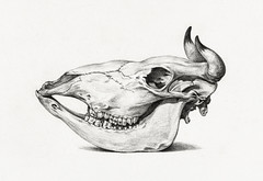 Skull of a cow (1816) by Jean Bernard (1775-1883). Original from The Rijksmuseum. Digitally enhanced by rawpixel. (Free Public Domain Illustrations by rawpixel) Tags: pdproject21batch1x pdproject animal antique art artwork cow drawing handdrawing handdrawn illustrated illustration jeanbernard name nature old pdrijks rijksmuseum sketch skull skullofacow vintage