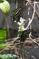 butterfly amhed 25dec2018b2 (chrisandrew314) Tags: tailed jay graphium agamemnon butterfly bali amed indonesia