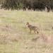 DSC_9849.jpg Coyote, UCSC Great Meadow