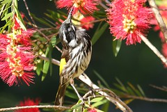New Holland Honeyeater 271018 (16) (F) (Richard Collier - Wildlife and Travel Photography) Tags: australia wildlife naturalhistory nature birds newhollandhoneyeater coth5