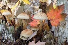 Pörhösuomuhelokka - Pholiota squarrosa - Clustered woodlover (Henri Koskinen) Tags: pörhösuomuhelokka pholiota squarrosa clustered woodlover mushroom scalycap helokka sieni helsinki finland 14102018