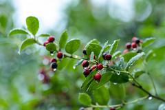Ilex verticillata (Winter Red) berries in the rain (Al Case) Tags: rain drops water ilex verticillata winter red berries bush nikon al case ashland oregon garden plant d500 70200mm f28g nikkor