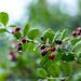 Ilex verticillata (Winter Red) berries in the rain