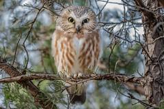 Northern Saw-Whet Owl (Kevin E Fox) Tags: sawwhetowl owl raptor bird birding birdwatching birds birdofprey nature nikond500 nikon sigma150600sport sigma