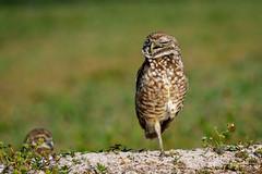 Virtuous (craig goettsch - out shooting) Tags: sanibel2018 burrowingowls capecoral owlet baird avian wildlife nature nikon d500