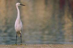 0906 Alone (Hrvoje Simich - gaZZda) Tags: animals birds alone one noperson bokeh white lake water pushkar india asia travel nikon nikond750 sigma150500563 gazzda hrvojesimich