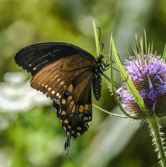 Orange Dots (Portraying Life, LLC) Tags: michigan unitedstates butterfly pentax da3004 hd14tc ricoh flower teasel handheld closecrop nativelighting k1