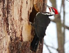 Home Renos (Meryl Raddatz) Tags: woodpecker bird nature naturephotography canada pileated