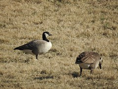 ***Rare*** Cackling Goose (FluvannaCountyBirder754) Tags: loudouncounty cacklinggoose goose virginia willisville geese birdwatching bird birding birder birds wildlife nature outdoor outdoors outside animal creature