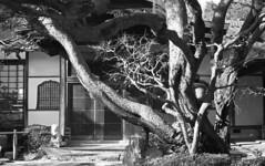 Tree at the entrance (odeleapple) Tags: voigtlander bessa r2m carl zeiss planar 50mm kodak400tx film monochrome analog bw tree