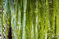 Fern curtain (amunoztico) Tags: 2019 camera canoneosr casa creativo events flores macro poraño variadas fern helecho helechos curtain cortina