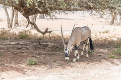 _RJS4698 (rjsnyc2) Tags: 2019 africa d850 desert dunes landscape namibia nikon outdoors photography remoteyear richardsilver richardsilverphoto safari sand sanddune travel travelphotographer animal camping nature tent trees wildlife