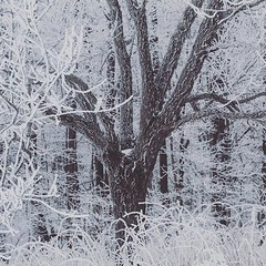 (jessalynn_sammons) Tags: shotoncanon canoncanada canon instagram squareformat adventure onetree solotree tree winter hoarfrost ice cold frost ifttt ontario
