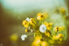DSC01999-Modifier (mortelette.david) Tags: jupiter9 85mmf2 15blades jupiter sovietlens vintagelens manuallens m42 sonya7ii sonyilce7m2 a7ii nature flou flower fleur blur bokeh dof profondeurdechamp abstrait extérieur