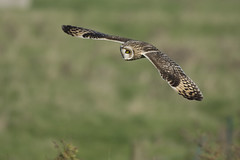 Short Eared Owl hunting over meadow (Ade Ludlam) Tags: short eared owl somerset raptor bird prey wildlife nature nikon d7200 sigma sigma150600