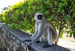 (Wojtek Zet) Tags: udaipur india rajasthan monkey langur