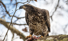 7K8A3300 (rpealit) Tags: scenery wildlife nature conowingo dam susquehanna river maryland immature bald eagle eating fish bird