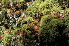 fallen leaves (ababhastopographer) Tags: kyoto kiyotaki autumn maple leaves foliage spring moss reflection trail riverside wet 京都 清滝 秋 落葉 momiji 川辺 東海自然歩道 苔 ray 日差し