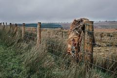 Left for dead (TWilliams Photos) Tags: bushmills northernireland landscape landscapephotography photography walking canon nature countyantrim fox