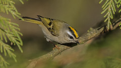 Golden-crowned Kinglet (nickinthegarden) Tags: goldencrownedkinglet fishtrapcreekpark abbotsfordbccanada