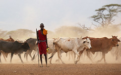 On the way back to a traditional Masaï village - South Rift Valley - Kenya (lotusblancphotography) Tags: africa afrique kenya southriftvalley travel masaï cattle dust poussière arbre tree voyage