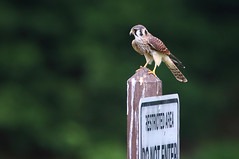 American Kestrel (ashockenberry) Tags: bird kestrel prey nature naturephotography northern photo wildlife wildlifephotography wild wilderness predator majestic mountains natural native park perch outdoor travel tourism forest raptor habitat reserve rocky ashleyhockenberryphotography