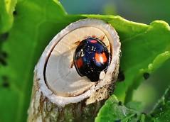 Bug (Hugo von Schreck) Tags: hugovonschreck bug käfer insect insekt macro makro yourbestoftoday canoneos5dsr fantasticnature tamron28300mmf3563divcpzda010