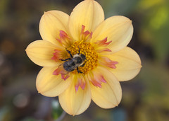 Bee on dahlia (Shotaku) Tags: garden flowers flower macro closeup bee bees insect insects plants plant blooms blooming