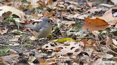 Tufted Titmouse (mausgabe) Tags: olympus em1 olympusm40150mmf28 olympusmc14 nyc centralpark thepinetum bird titmouse