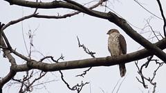 Cooper's Hawk (mausgabe) Tags: olympus em1 olympusm40150mmf28 olympusmc14 nyc centralpark thepinetum hawk coopershawk