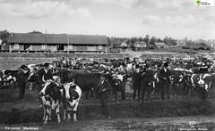 tm_6050 - Värnamo marknad (Tidaholms Museum) Tags: svartvit positiv fotografier marknad kor värnamo market cow djur animal