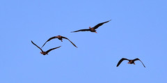 11-12-18-0041909 (Lake Worth) Tags: animal animals bird birds birdwatcher everglades southflorida feathers florida nature outdoor outdoors waterbirds wetlands wildlife wings