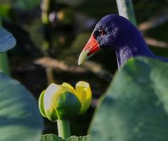 11-12-18-0041969 (Lake Worth) Tags: animal animals bird birds birdwatcher everglades southflorida feathers florida nature outdoor outdoors waterbirds wetlands wildlife wings