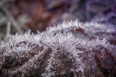 macro's in the freezing cold (JosjeToby) Tags: macro macrophotography macromood macrodreams macros nature naturephotography sonya6000 lightroom nik germany priiborn bokeh bokehandblur