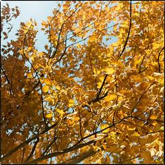Autumn Intermission IX (__Daniele__) Tags: konica minolta 160 c41 expired 2003 analogue analog film autumn fall leaves colour color medium format mittelformat sredni hasselblad 80mm 500cm sqaure